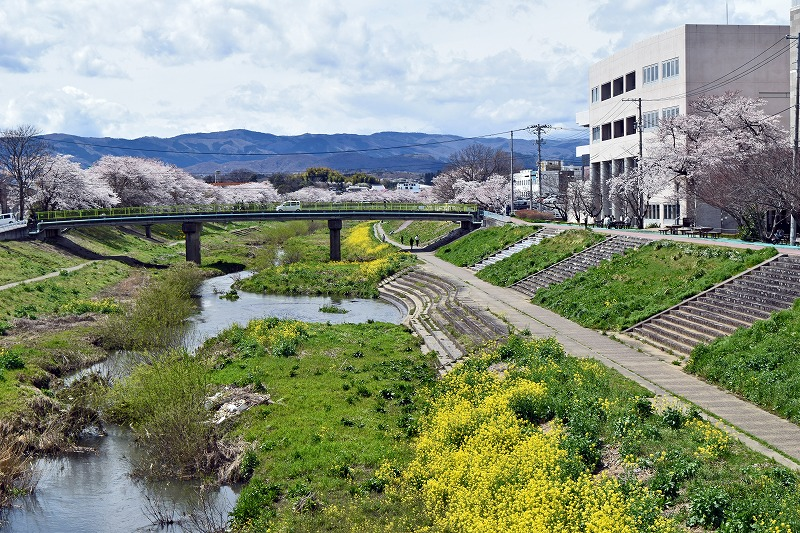 新川桜.jpg