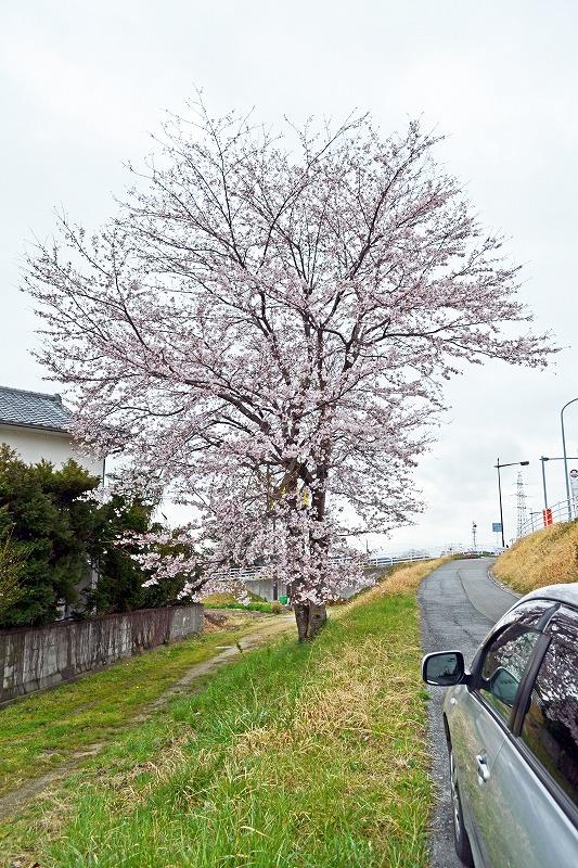 160404桜.jpg