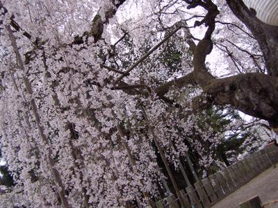 Sakura111a.jpg