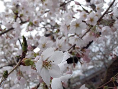 Sakura129a.jpg